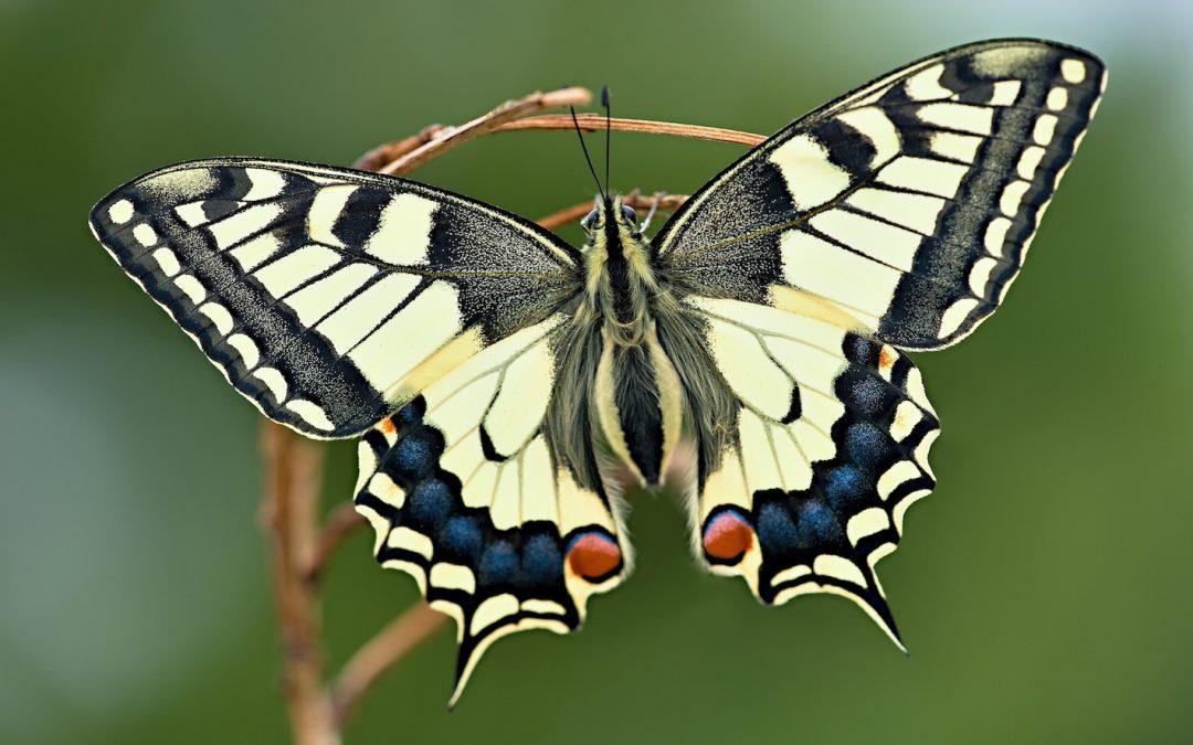 Kennst Du den Corona Schmetterling?